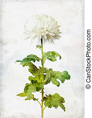 Watercolored white chrysanthemum - Illustration of...