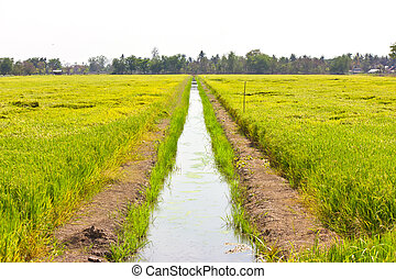 Watercourse between the rice fields