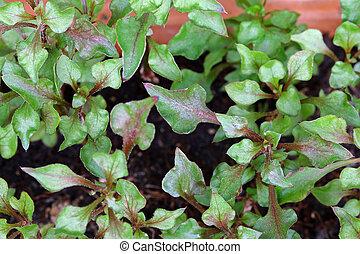 watercress, home-grown, 赤