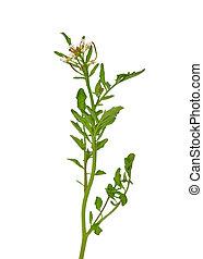 Watercress (Nasturtium officinale)