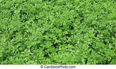 watercress plants in growth