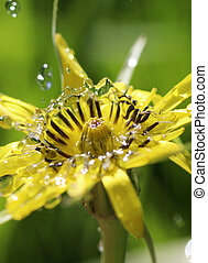 waterdrops on a yellow flower ,morning shot, image