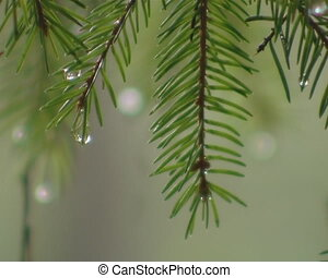Waterdrops on fir tree branches. Playing with focus in forest.