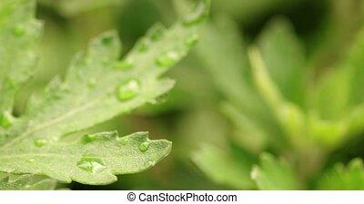 Waterdrops on green leaves in garden after rain handheld...