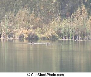 Waterfowl ducks swimming in forest - Waterfowl ducks...