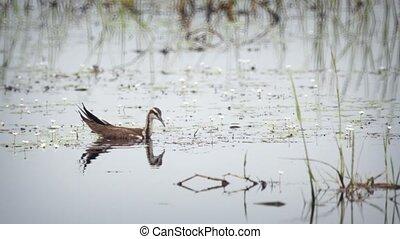 Waterfowl Foraging for Food on a Sri Lankan Lake. 1080p...