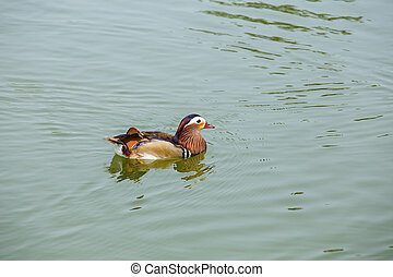waterfowl in pond