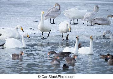 Waterfowl in winter