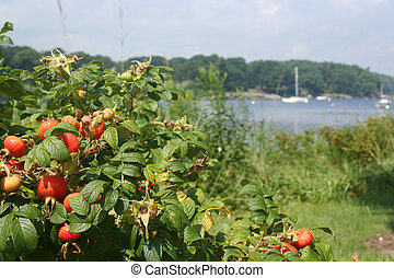 Waterfront scenery red berries at Saco Bay Maine