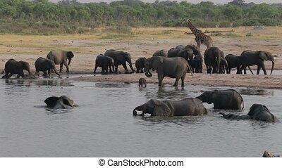 waterh, troupeau, éléphants africains
