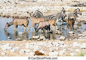 waterhole, en, etosha, np, namibia