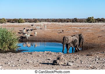 waterhole, etosha, säugetiere, afrikanisch, groß, ol, land,...