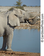 Waterhole - Large male african elephant (Loxodonta africana)...