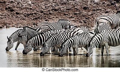 waterhole, zebras