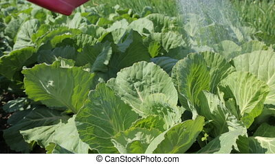 Watering cabbage in the garden