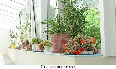 watering cactus can - woman watering blooming cactus plants...