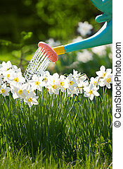 watering can - closeup of can watering the white flowers