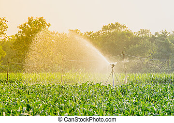 watering corn field in agricultural garden by water springer