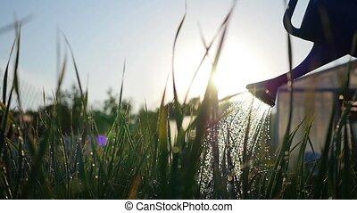 Watering garden plants from watering can. Summer sunlight....