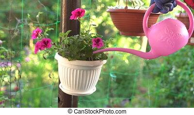watering geranium in pot outdoors - closeup gardener hand...