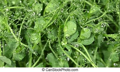 Close up sprinkling water to fresh green peas microgreen sprouts, high angle view, slow motion