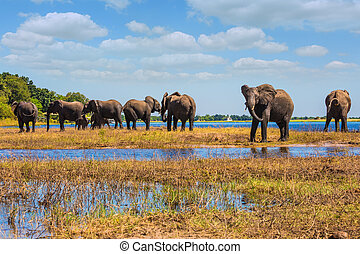 Watering in Delta Okavango - Watering in the river. Herd of ...