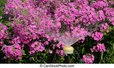 watering midsummer flowers