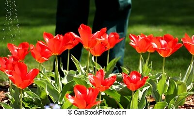 Watering red tulips