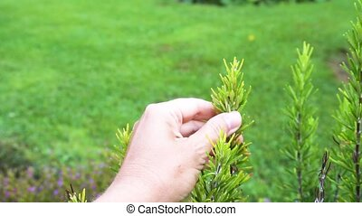 Watering rosemary herb in garden - Picking green rosemary...