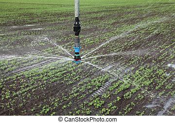 Watering system sprinkler splashing water in pea plants field