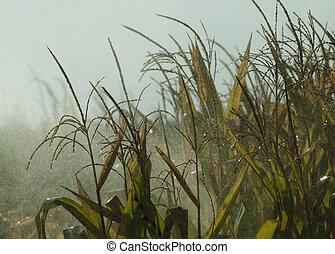 Watering the corn plantation