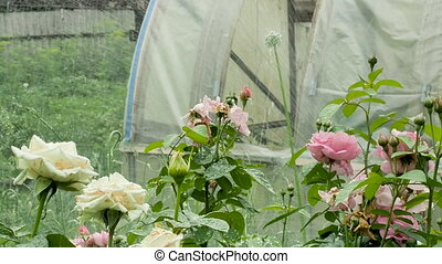 Watering the garden with blooming roses, green plants on the...