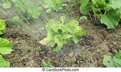 Slow motion of watering the lettuce on the field. Water falling down on lettuce.