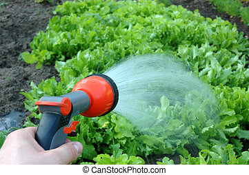 Watering the vegetables -lettuce