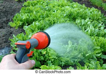 Watering the vegetables -lettuce