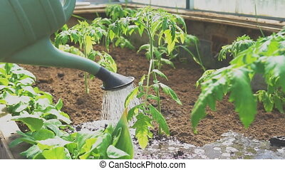 Watering tomatoes with watering can in greenhouse.