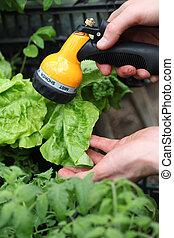 Watering vegetables in garden