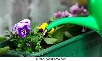 Watering. - Watering indoor plants.