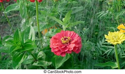 Watering zinnia red flower close up. Care of plants and flowers. Growing flowers