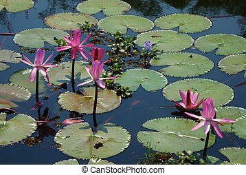 Waterlilies - Pond of waterlilies