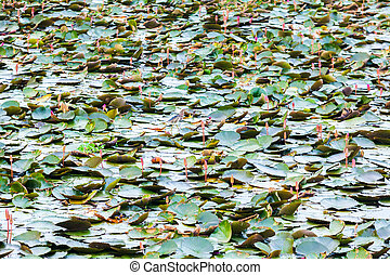 Waterlilly in Vast Lake in Thailand