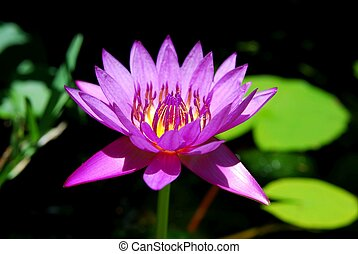 waterlilly lights up the pond