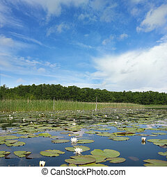 Idyllic lake mueritz with european white waterlily, forest in the background and blue sky