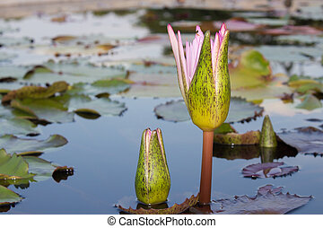 waterlily, branca, pond., natureza