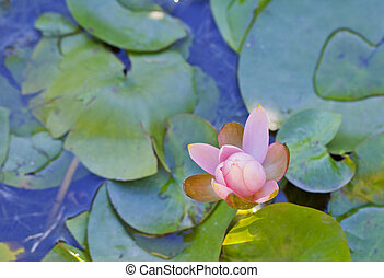 Close up of a pink waterlily in a pool