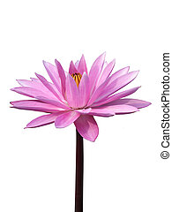 Waterlily isolated on white