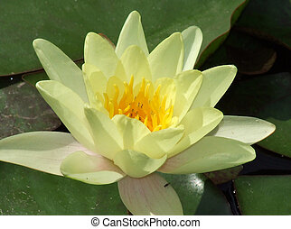 Waterlily (lotus flower)