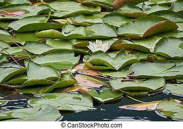 waterlily on lake