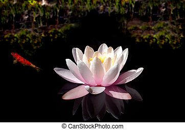 Waterlily Pool - Waterlily on dark water with bright lake...