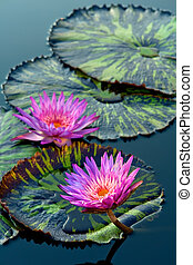 waterlily - Two water lilys
